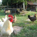 Kippen houden: De 7 redenen om kippen te houden.