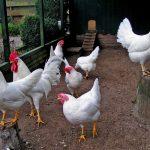 Kippenrassen en hun eigenschappen