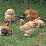 Lijst van alle soorten kippen