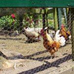 De 4 belangrijkste punten waar een kippenren aan moet voldoen.